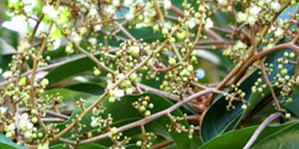 andiroba-carapa-guianensis.jpg